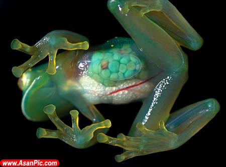 عکسهای ده جانور شفاف دنیا !
