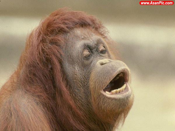 تصاویری جالب از اورانگوتانهای بامزه