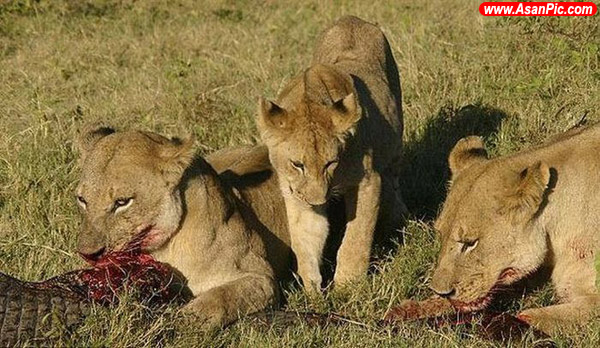 تصاویری دیده نشده از جدال تمساح و شیر !