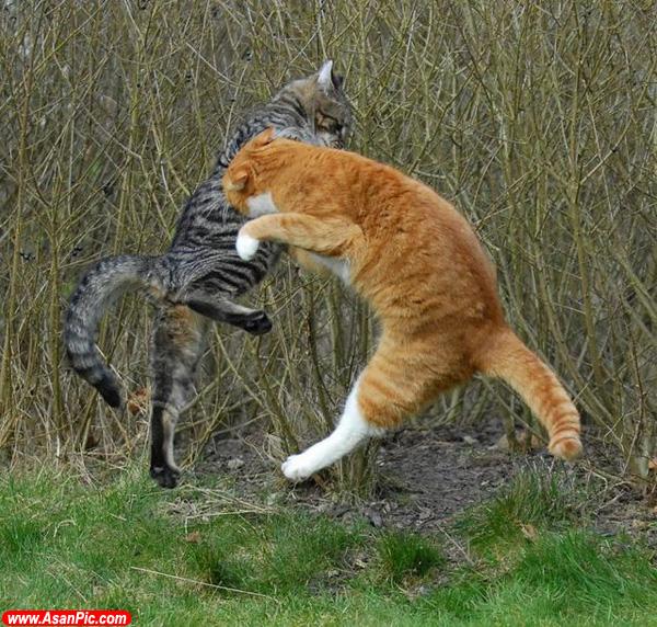 عكس هایی از گربه های نینجا