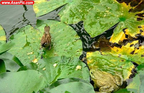 تصاویری كمياب از شکار یک گنجشک توسط قورباغه