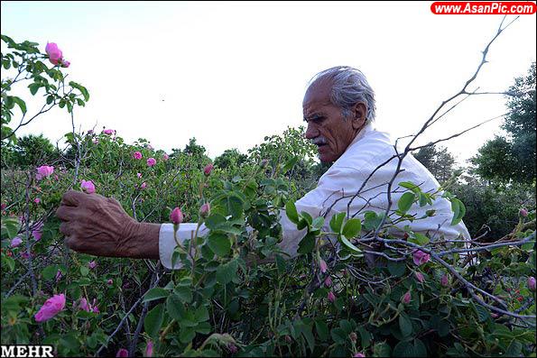 گزارش تصویری برداشت گل محمدی و گلاب گیری
