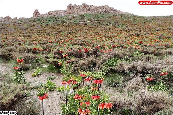 گزارش تصویری دشت لاله های واژگون در روستای دره بید