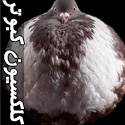 كلكسيون كبوترهای گران قيمت و زيبای دنيا