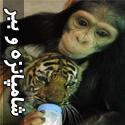 عکس های شامپانزه ای که میلیونها نفر را شیفته خود کرد!