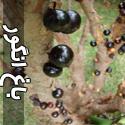 باغهای عجیب انگور در برزیل