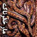 تصاویری زیبا از خطرناک ترین مارهای جهان