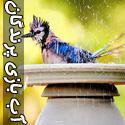 عکسهایی از آب بازی پرنده ها